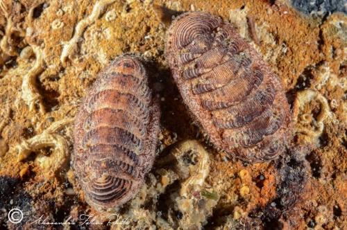(Polyplacophora) DSC 7917 r
