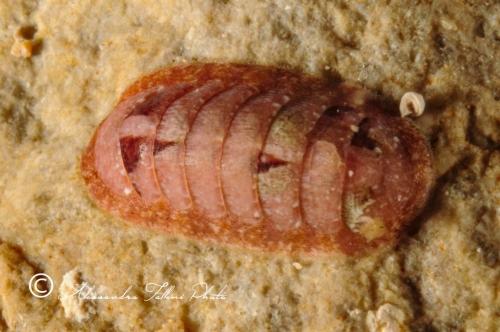 (Polyplacophora) DSC 8462 r