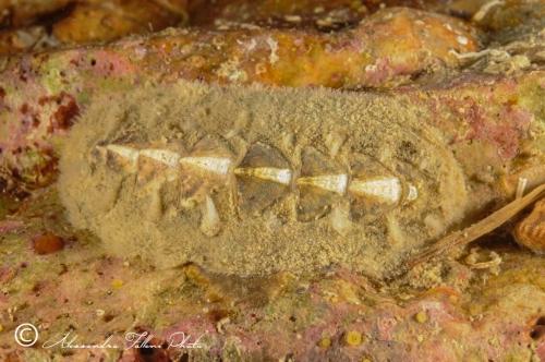 (Polyplacophora) DSC 9689 r