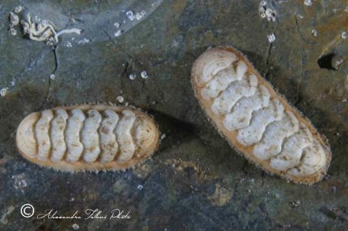 (Polyplacophora) IMG 1936 r