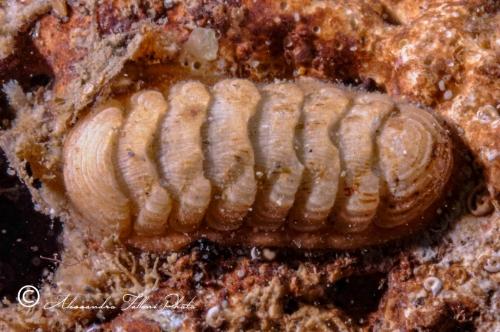 (Polyplacophora)  DSC6021 r