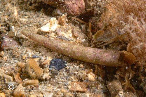 (Scaphopoda) Atalis panormum r