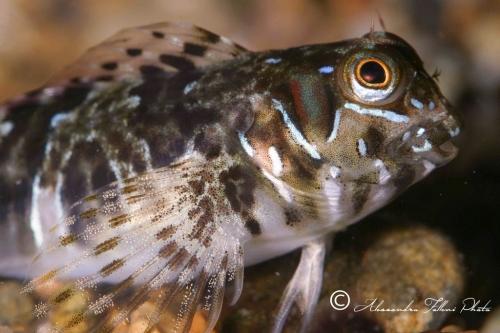 (Blenniidae) Aidablennius sphynx 2r