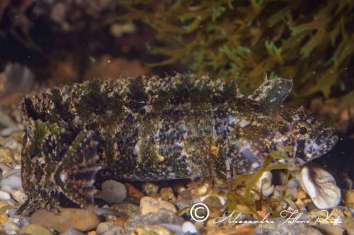 (Blenniidae) Clinithracus argentatus 4r