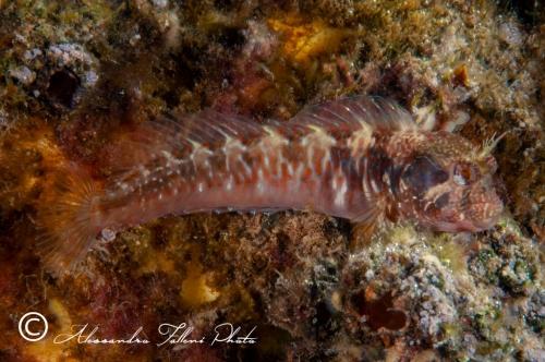 (Blenniidae) Parablennius incognitus 2r