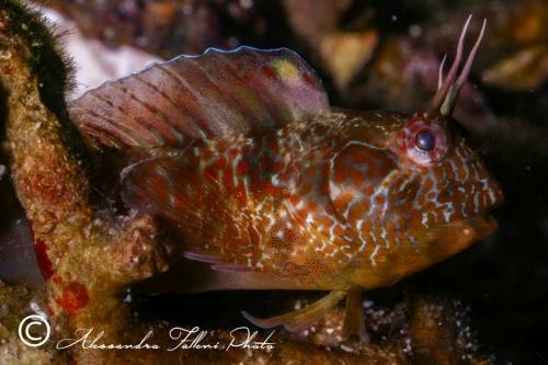 (Blenniidae) Parablennius incognitus 3r