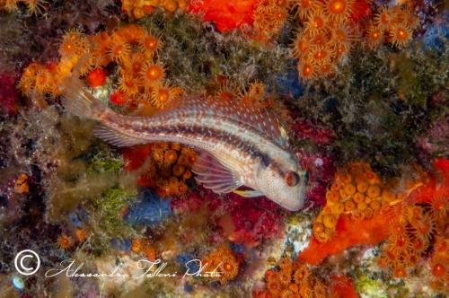 (Blenniidae) Parablennius pilicornis 1r