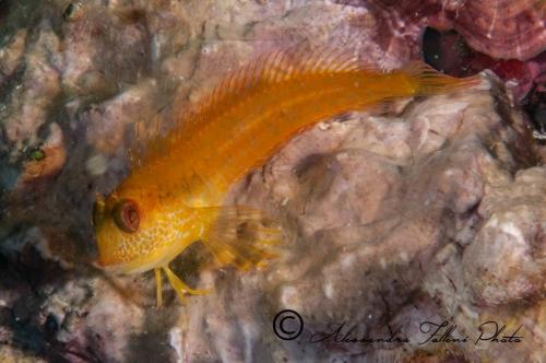 (Blenniidae) Parablennius pilicornis 2r