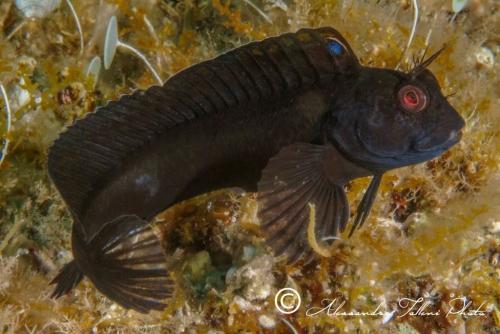 (Blenniidae) Parablennius pilicornis 3r