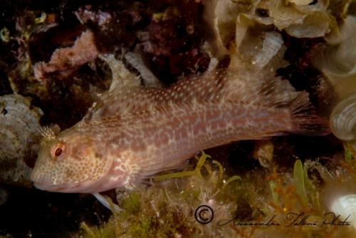(Blenniidae) Parablennius pilicornis 4r