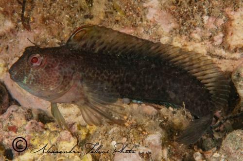 (Blenniidae) Parablennius pilicornis 6r