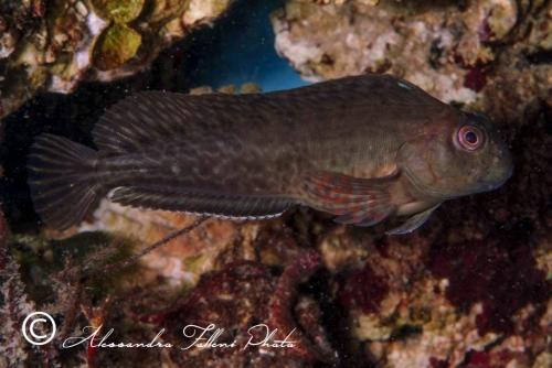 (Blenniidae) Parablennius sanguinolentus 2r