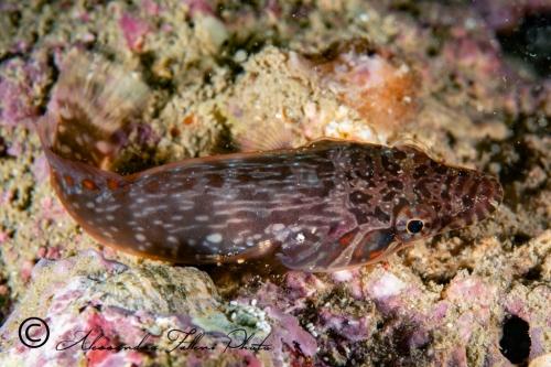 (Gobiesocidae) Lapadogaster candollii 6r