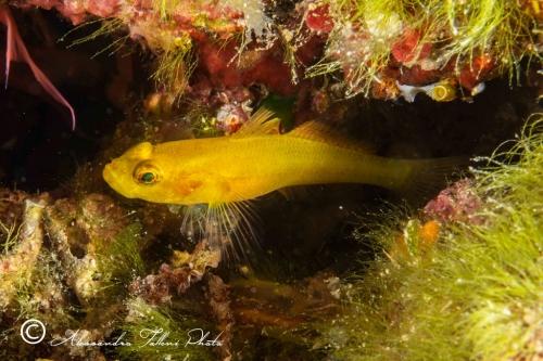 (Gobiidae) Gobius auratus 1r