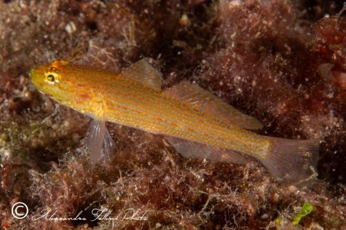 (Gobiidae) Gobius auratus 2r