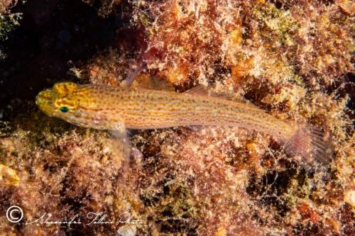 (Gobiidae) Gobius auratus 3r