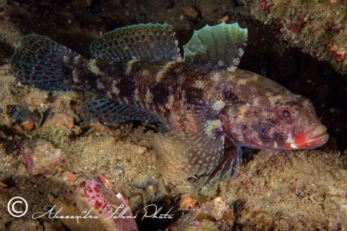 (Gobiidae) Gobius cruentatus 3r