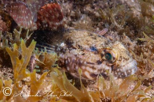 (Gobiidae) Gobius paganellus 5r