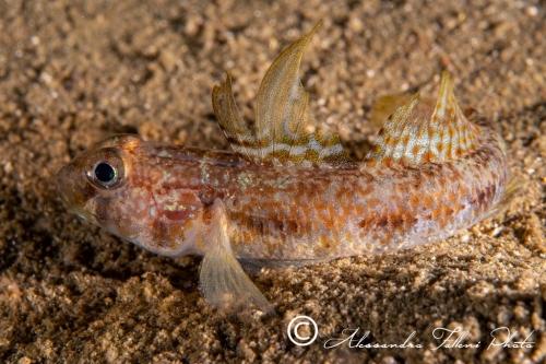 (Gobiidae) Gobius roulei 1r