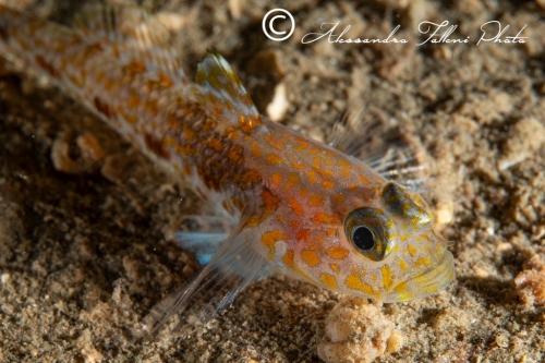 (Gobiidae) Thorogobius macrolepis 2r