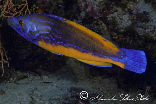 (Labridae) Labrus mixtus 1r