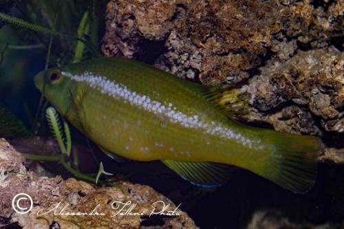 (Labridae) Labrus viridis 1r