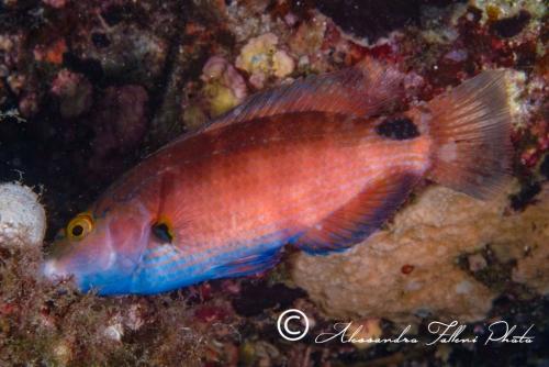 (Labridae) Symphodus mediterraneus 1r