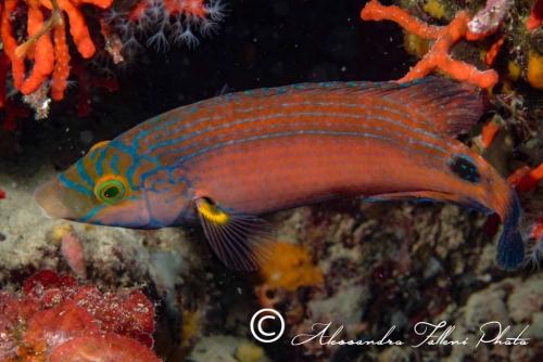 (Labridae) Symphodus mediterraneus 2r
