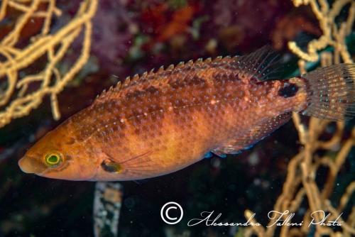 (Labridae) Symphodus mediterraneus 3r