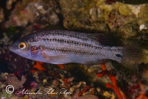(Labridae) Symphodus melops 0r