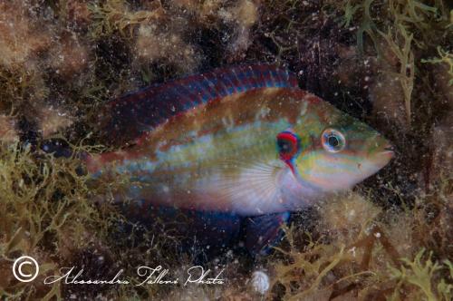 (Labridae) Symphodus ocellatus 1r