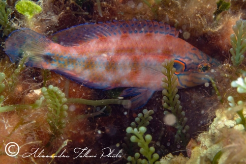 (Labridae) Symphodus ocellatus 2r