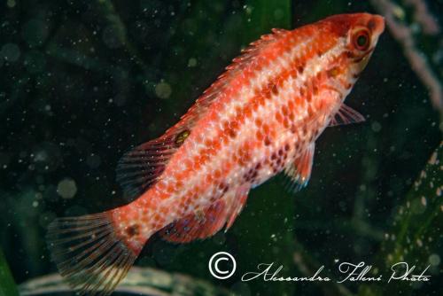 (Labridae) Symphodus roissali 1r