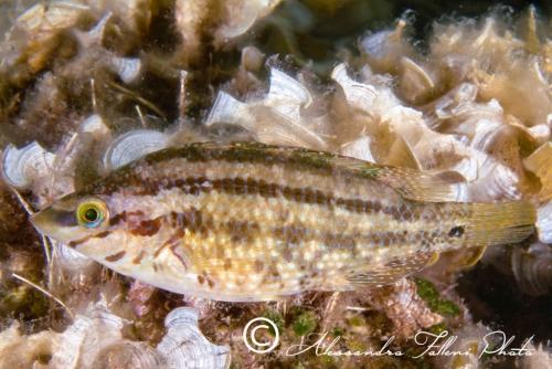 (Labridae) Symphodus roissali 2r