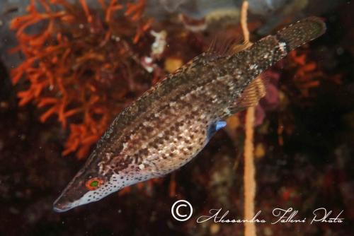(Labridae) Symphodus rostratus 2r