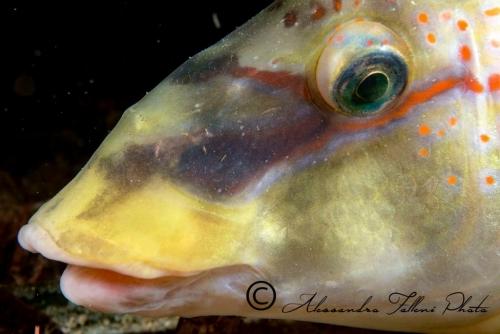 (Labridae) Symphodus tinca  3r