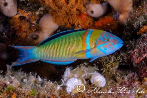 (Labridae) Thalassoma pavo 0r