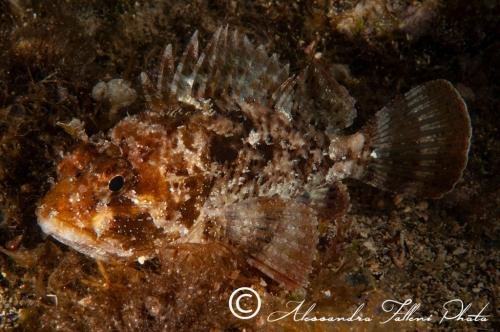 (Scorpaenidae) Scorpaena porcus 1r