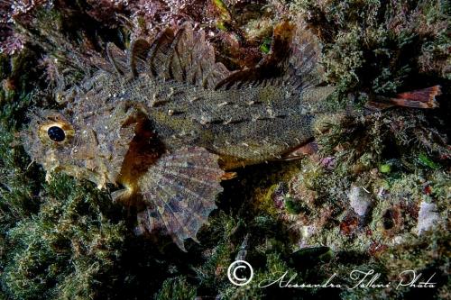 (Scorpaenidae) Scorpaena porcus 4r