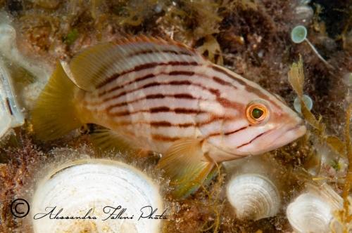 (Serranidae)  Epinephelus costae 1r