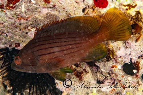 (Serranidae)  Epinephelus costae 2r