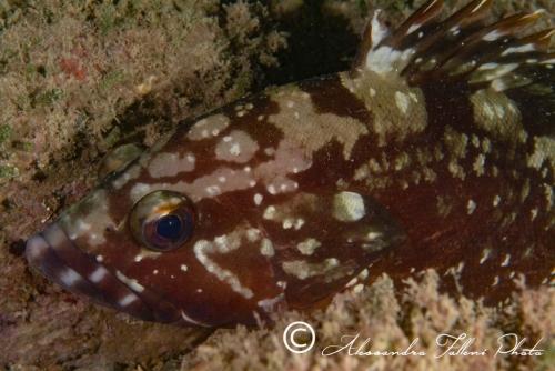 (Serranidae)  Epinephelus guaza 3r