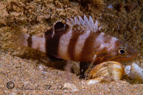 (Serranidae)  Serranus hepatus 1r