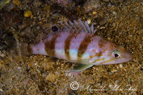 (Serranidae)  Serranus hepatus 2r