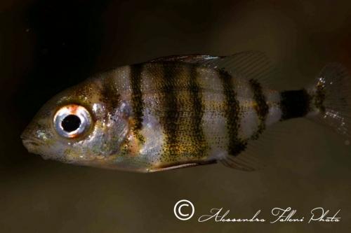 (Sparidae) Diplodus puntazzo 2r
