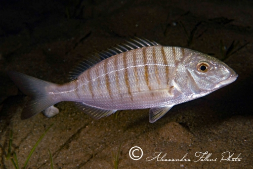 (Sparidae) Lithognathus mormyrus 1r