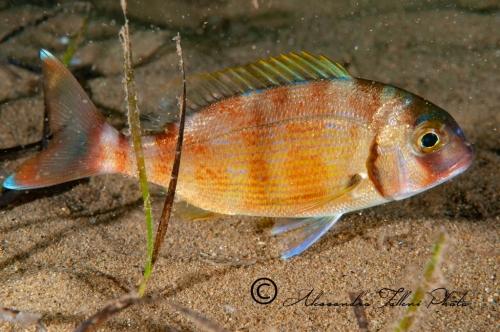 (Sparidae) Pagrus pagrus 1r