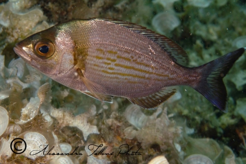 (Sparidae) Spondyliosoma cantharus 4r