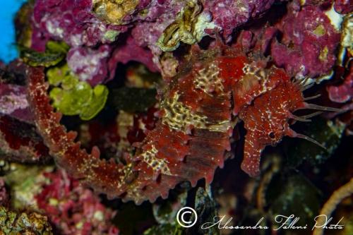 (Syngnathidae) Hippocampus guttulatus 5r