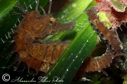 (Syngnathidae) Hippocampus guttulatus 6r